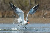 Caspian Tern Taking To The Air After A Dive