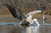 Pink-backed Pelican In Making A Lunge For Fish