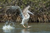 Pink-backed Pelican In The Air Making A Lunge For Fish