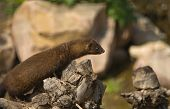 image of mink  - Gazing european mink or mustela lutreola also known as the Russian mink resting on tree branch - JPG