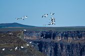 stock photo of geese flying  - A Flock of Snow Geese Flying Above the Canyon - JPG