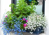 stock photo of lobelia  - Window box with blue edging lobelia and butterfly stone crop plants - JPG