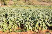 stock photo of brinjal  - Agriculture farm with uniformly planted brinjal plants on a sunny afternoon - JPG