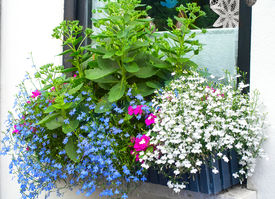 foto of lobelia  - Window box with blue edging lobelia and butterfly stone crop plants - JPG