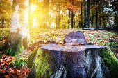picture of redwood forest  - Landscape with big tree stump in autumn forest - JPG