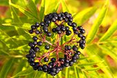 stock photo of elderberry  - Elderberry - JPG
