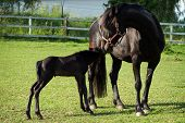 stock photo of mare foal  - Farm animals - JPG