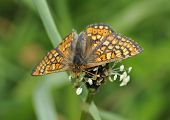 picture of plantain  - Marsh Fritillary Butterfly - Eurodryas aurinia