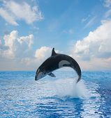 foto of orca  - jumping killer whale - JPG