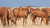 pic of steppes  - Herd of Russian Don horses in th steppe - JPG