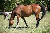 Purebred horse grazing poster
