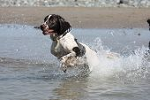 stock photo of leaping  - liver and white working type english springer spaniel pet gundog leaping into the sea