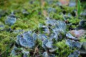 image of fairy-mushroom  - Photo of blue mushrooms in the forest - JPG