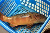 stock photo of grouper  - Freshly caught coral grouper fish in the blue basket - JPG