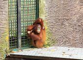 foto of orangutan  - small orangutan sits in a strange pose - JPG