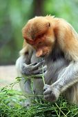 stock photo of southeast  - Proboscis Monkeys Nasalis larvatus or long - JPG