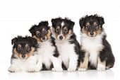 picture of sheltie  - Group of Shetland Sheepdog puppies on a white background - JPG