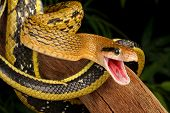 foto of tree snake  - Taiwan Beauty Snake hanging from a tree - JPG