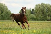 picture of chestnut horse  - Chestnut beautiful horse galloping at the meadow with flowers - JPG