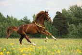 foto of chestnut horse  - Chestnut horse with flower cilrclet galloping free - JPG