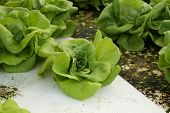 stock photo of butter-lettuce  - butter head cultivation hydroponics green vegetable in farm