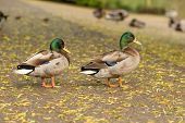 picture of ducks  - Two Mallard ducks on the bank of the duck pond at Horsham Park Horsham Surrey UK - JPG