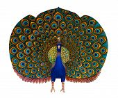 picture of mumtaj  - A bold and colourful peacock statue isolated against a white background - JPG