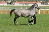 stock photo of thoroughbred  - Warmblood thoroughbred grey racehorse running with trainer - JPG