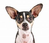 pic of chihuahua mix  - a cute rat terrier chihuahua mix isolated on a white background studio shot looking at the camera - JPG