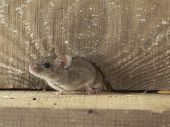pic of attic  - The house mouse peeping out of the crack in the wall in the attic of the house - JPG