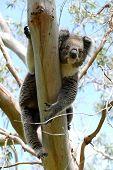 pic of eucalyptus trees  - Koala hanging groggy in a Eucalyptus tree - JPG