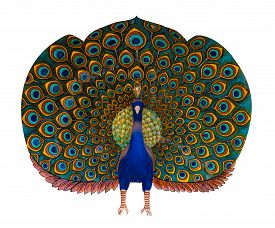 foto of mumtaj  - A bold and colourful peacock statue isolated against a white background - JPG