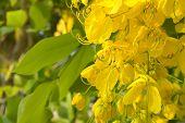 foto of cassia  - Golden shower tree flower - JPG