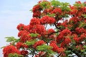 stock photo of royal botanic gardens  - Red flowers of Royal Poinciana Flame Tree blooming in the park in summer - JPG