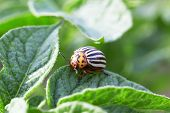stock photo of potato bug  - mature colorado beetle on the potato bush