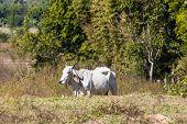 picture of female buffalo  - Thai Cow In Field  - JPG