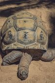 picture of turtle shell  - Big old slow turtle in captivity in a Palmitos Park in Gran Canaria - JPG