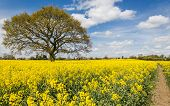 foto of rape  - Rape seed crop fields based in the uk - JPG