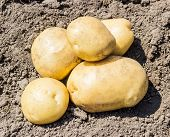 stock photo of potato-field  - Several yellow potatoes on the field on a background of the soil - JPG