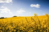 stock photo of rape  - Yellow Canola field Rape field - JPG