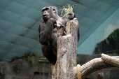 stock photo of lowlands  - A western lowland gorilla  - JPG
