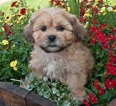 foto of buff  - Sweet little buff puppy sitting in a basket of flowers - JPG