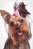 stock photo of baby dog  - face of a cute yorkshire terrier baby dog looking happy - JPG