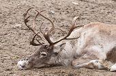 stock photo of caribou  - Reindeer  - JPG