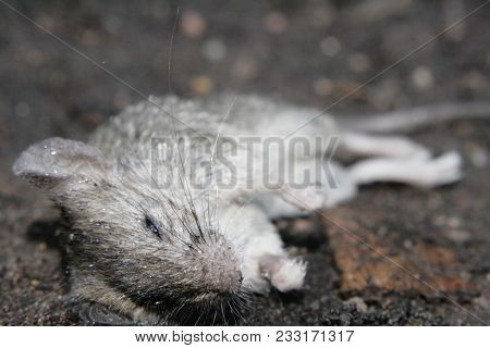 Dead Mouse Lying On The