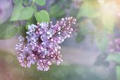 Spring Flowers Background - Spring Lilacs Flowers In Spring Blossom . . Spring Background With Bloom poster