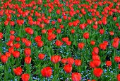 Close-up Red Tulips In Beautiful Blue Forget-me-nots Field. Bulbous Field Red Tulips Bright Flowers. poster