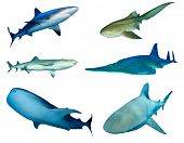 Collection shark species isolated on white. Grey Reef, Leopard (Zebra), Whitetip Reef, Guitarfish, W poster
