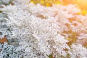 Thuja During The First Frost. Frosted, White. Sunny Morning. Bokeh. poster