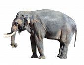 Elephant Close Up. Big Grey Walking Elephant Isolated On White Background. Standing Elephant Full Le poster